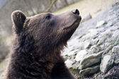 Brown bear portrait — Stockfoto