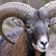 Stock Photo: Mouflon ram