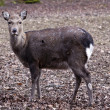 Female sika deer — Stock Photo