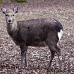 Female sika deer — Stock Photo #14510595
