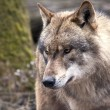 Stock Photo: Wolf portrait