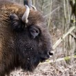 Bison portrait - Stock Photo