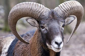 Mouflon ram — Stock Photo