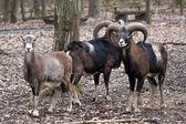 Group of wild sheep — Stock Photo