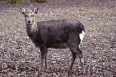 Female sika deer — Stock Photo