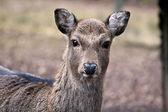 Sika deer portrait — Stock Photo