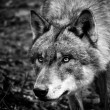 Stock Photo: Black & White Wolf Portrait