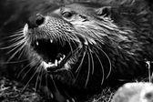 Black & White Otter Portrait — Stock Photo