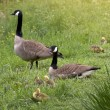 Canada Goose Goslings - Stock Photo