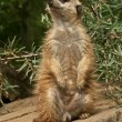 Stock Photo: Meerkat stand guard