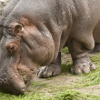 Stock Photo: Grazing Hippopotamus