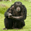 Stock Photo: Male Chimpanzee