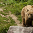 Stock Photo: Kodiak bear