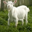 Stock Photo: Cute white goat yeanling