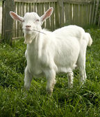 Cute white goat yeanling — Stock Photo