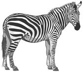 Isolated Zebra Illustration — Stock Vector