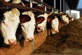 Feeding cows — Stock Photo