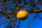 Ostatni jabłka na drzewie — Zdjęcie stockowe