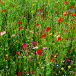 Stock Photo: Meadow with red poppies