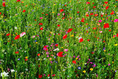 Meadow with red poppies — Stock Photo