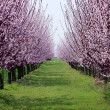 Orchard with flowering trees — Stock Photo #26103061