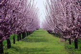Orchard with flowering trees — Stock Photo