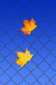 Autumn leaf on a fence — Photo