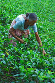 Tea picker — Stock Photo