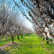 Stock Photo: Orchard with flowering trees