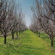Orchard with flowering trees — Stock Photo #39199121