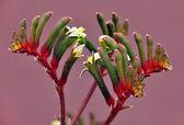 Australian Red & Green Kangaroo Paw Flower — Stock Photo