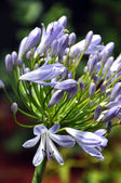 Blue Agapanthus Flower in Summer Garden — Stock Photo