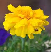 Lady bird bug on yellow marigold flower, close-up. — Stock Photo