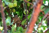 Baby turtle dove fågel i boet närbild — Stockfoto