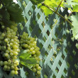 Bunches of sultana grapes hanging from a grape vine - Stock Photo