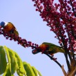 Stock Photo: AustraliNative fauna, RosellRainbow Lorikeet Parrot birds in UmbrellPlant Tree eating red berries fruit in Autumn, taken in Adelaide, South Australia