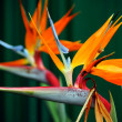 Strelitzia, Bird of Paradise flower — Stock Photo #28498965