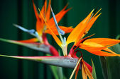 Strelitzia, the Bird of Paradise flower — Stock Photo