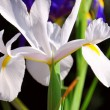 Beautiful Dutch Iris flower in Spring, close up. — Stock Photo