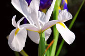 Beautiful Dutch Iris flower in Spring, close up. — Foto Stock