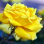 Beautiful yellow Gold Bunny climbing roses — Stock Photo #28557325