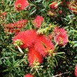 Stock Photo: Red flowers of the Australian Bottlebrush tree