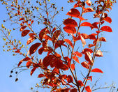 Red autumn fall leaves of a young Crepe Myrtle, Lagerstroemia in — Stock Photo