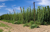 Hops field — Stock Photo