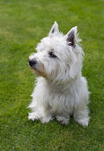 West Highland White Terrier — Stock Photo