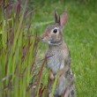 Stock Photo: Rabbit investigating ornamental grasses