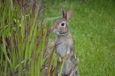 Rabbit investigating ornamental grasses — Stock Photo
