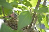 Hongerige baby's in een nest — Stockfoto