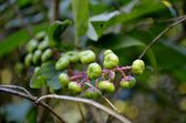 Poke Weed ((Phytolacca Americana) leaves and berries — Stock Photo