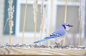 Blue Jay (Cyanocitta cristata) — Stock Photo